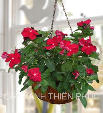 Hoa Dừa Cạn Đỏ